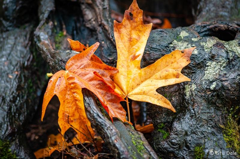 Fall Leaves at Mount Douglas Park, Victoria,B.C.