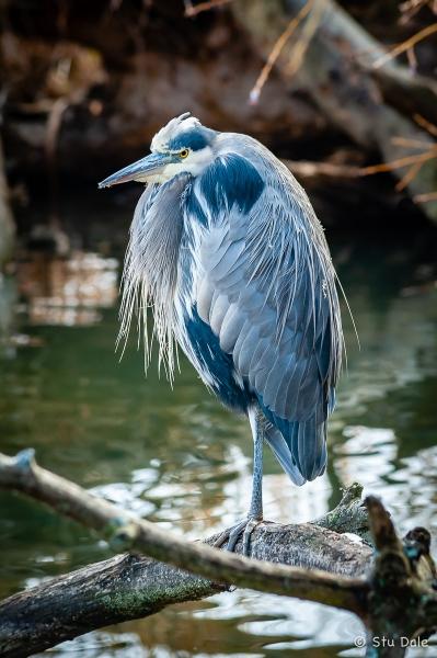 Great Blue Heron at the Fascieux Creek Wetland, Kelowna, B.C.