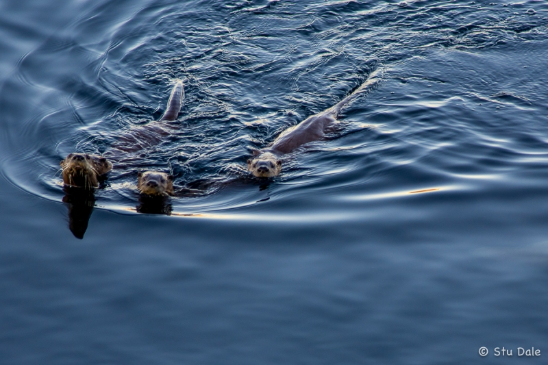 Curious_Sea_Otters_-_N0004