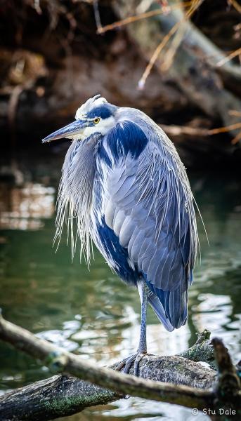 Great_Blue_Heron_-_N0012