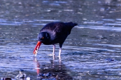 Oyster_Catcher_-_N0005