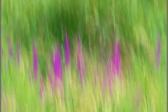 Fireweed_P0014